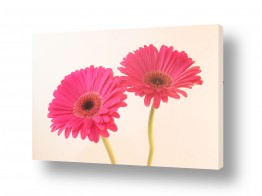 פרחים גרברה | גרברה 11