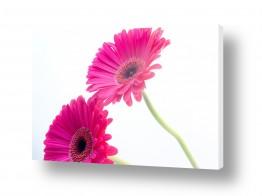 פרחים גרברה | גרברה 12