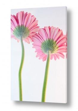 פרחים גרברה | גרברה 13
