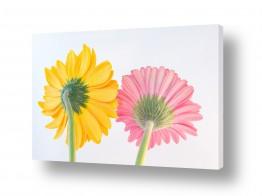 פרחים גרברה | גרברה 14