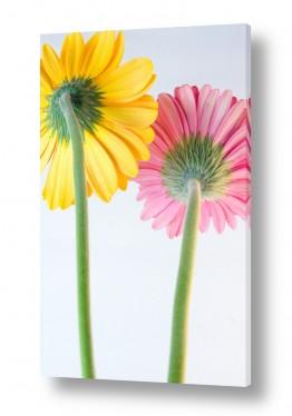 פרחים גרברה | גרברה 15