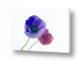 פרחים כלנית | כלניות 5