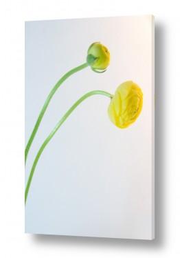 פרחים כלנית | כלניות 4