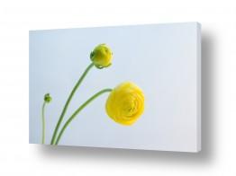 פרחים כלנית | כלניות 3