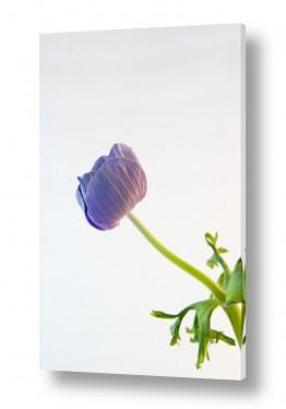 פרחים כלנית | כלניות 2
