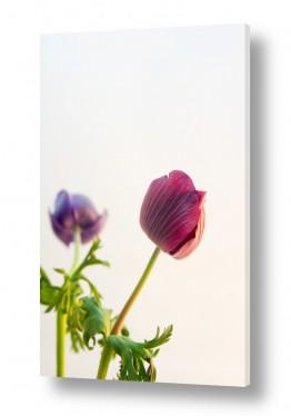 פרחים כלנית | כלניות 1
