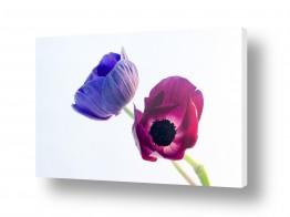 פרחים כלנית | כלניות 6