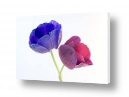 פרחים כלנית | כלניות 7