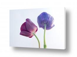 פרחים כלנית | כלניות 8