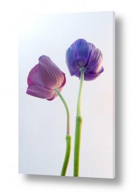 פרחים כלנית | כלניות 9