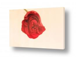 צילומים סטודיו | ורד 2
