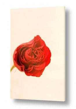 צילומים סטודיו | ורד 3