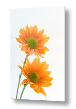 צילומים אמיר אלון   פרחים 1