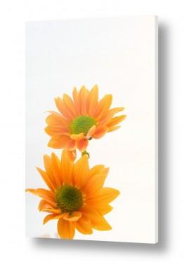 צילומים סטודיו | פרחים 2