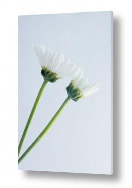 תמונות לפי נושאים עדין | פרחים 5
