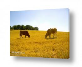 יונקים פרות   שקט ושלווה