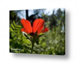 פרחים כלנית | אדום עולה