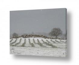 צמחים כרמים | פתיתי שלג