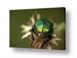 סגול סגול | מקרו חיפושית בפעולה