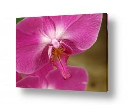 פרחים סחלב | סחלב 8