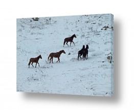 תמונות לפי נושאים גולן | סוסים בשלג