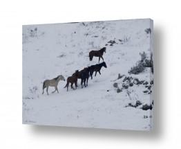 יונקים סוסים | סוסים בשלג  2