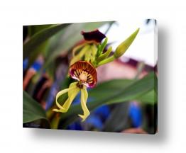 פרחים סחלב | סחלב  10