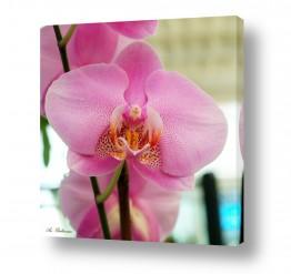 פרחים סחלבים | סחלב 11