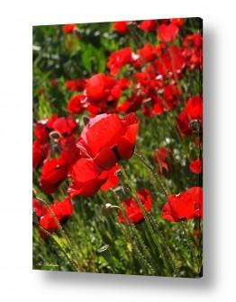 פרחים פרגים | פרגים 1