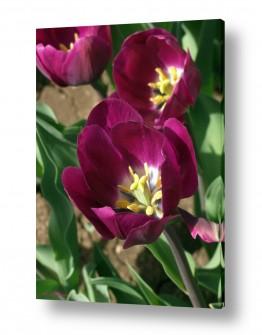צמחים פרחים | צבעוני 1