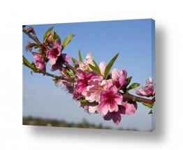 צמחים פרחים | פריחת האפרסק 02