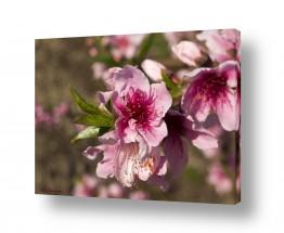 צמחים פרחים | פריחת האפרסק 03