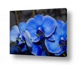 פרחים סחלב | סחלב כחול