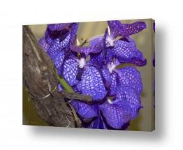 פרחים סחלב   סגול סגול