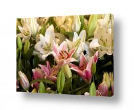 צמחים פרחים | שלל צבעי הלילייה