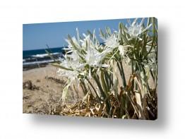 תמונות לפי נושאים אכזיב | חבצלת בחוף