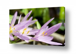 צמחים פרחים | סגול של סתיו