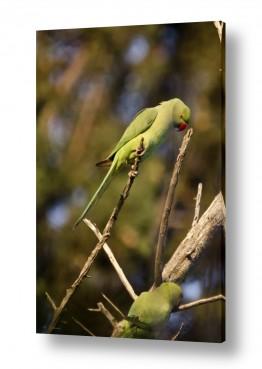 ציפורים תוכי | ירוק וצועק זה תוכי