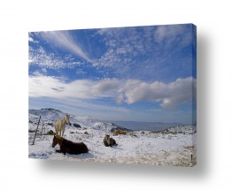 צילומים בעלי חיים | סוסי שלג