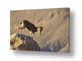 יונקים יעל | לרקוד על הסלעים