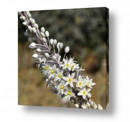 צמחים פרחים | פריחת החצב