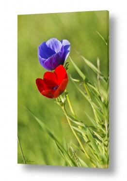 פרחים כלנית   צבעים של חורף