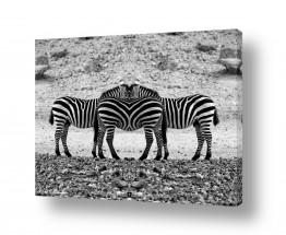 תמונות לפי נושאים חיות | זברה מעורב