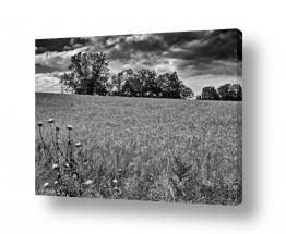 שדות חיטה | שדות דגן לנצח
