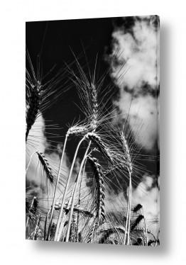 שדות חיטה | שיבולים ברוח