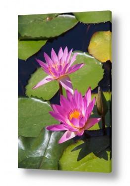 פרחים צמחים טורפים | נופרים בסגול