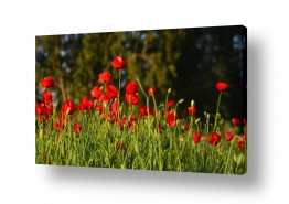 פרחים פרגים | אדום בשקיעה