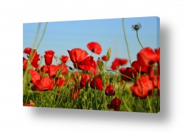 פרחים פרגים | בשדה אדום