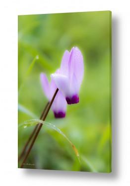 פרחים רקפת | חלום על רקפת