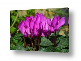 פרחים רקפת | טיפות של סגול